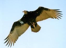 """Arabie Saoudite : arrestation d'un vautour """"agent du Mossad"""""""