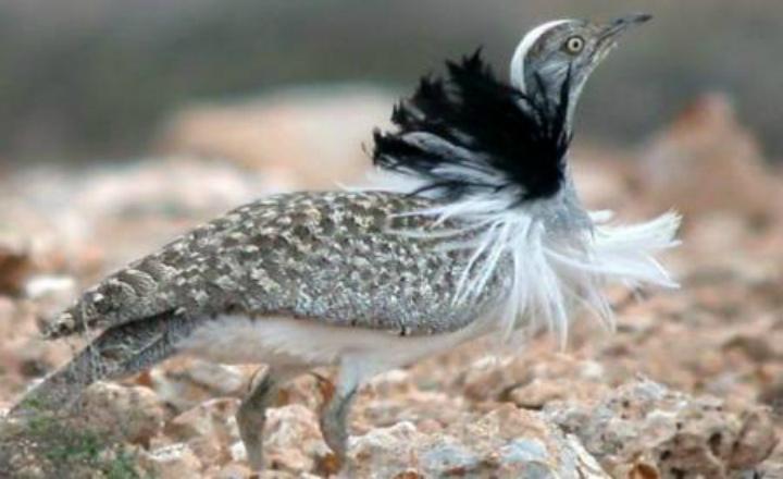 Un prince saoudien tue 2.000 oiseaux menacés en une seule partie de chasse