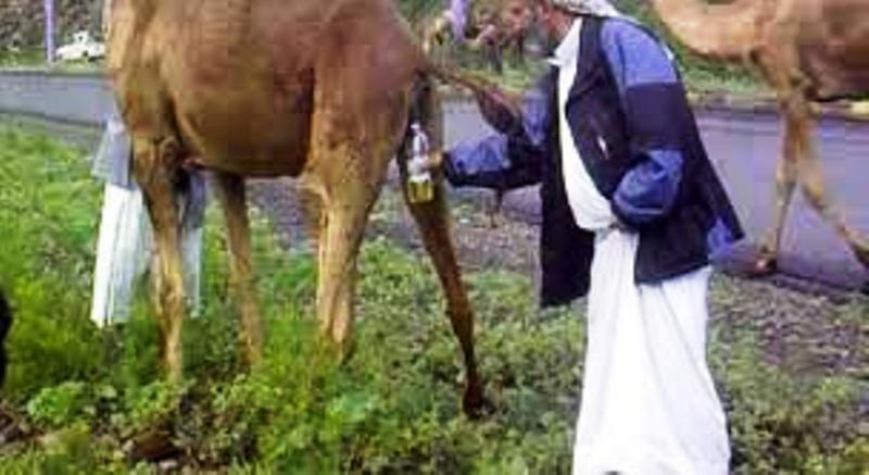 Le prophète, l'urine des chameaux et le virus d'Arabie. Par Mireille Valette.