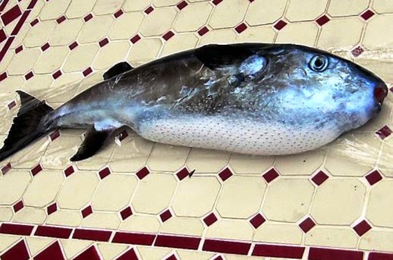 Attention un poisson mortel originaire de la mer rouge for Nom poisson rouge