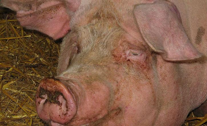 Justice, la tête de porc porterait « atteinte à l'intégrité psychique des musulmans »…