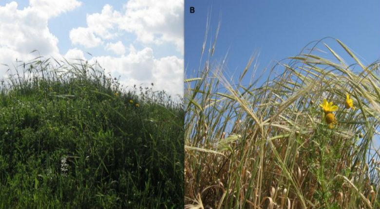 L'agriculture serait-elle apparue en Israël il y a 23.000 ans ?