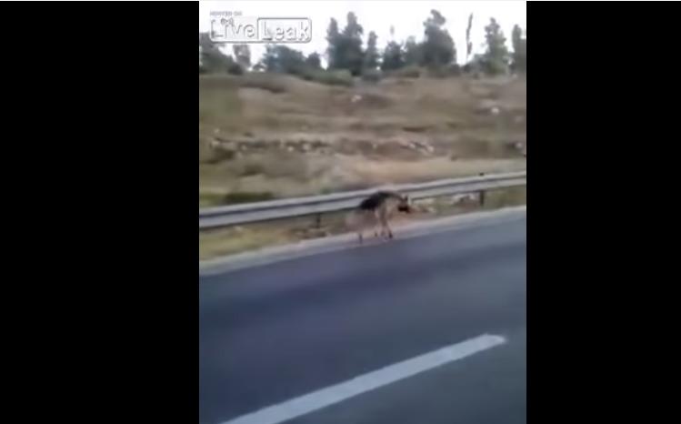 Des Arabes palestiniens massacrent à coup de pierre une hyène perdue au bord de la route