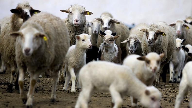 Gaza : 200 blessés et 90 Gazaouis piétinés par des moutons lors des festivités de l'Aïd