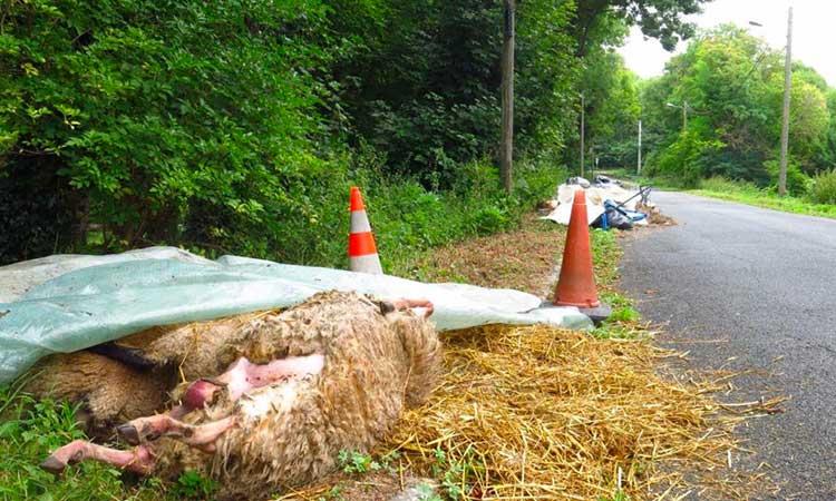 Villevaudé : 25 cadavres de moutons abandonnés au bord de la route
