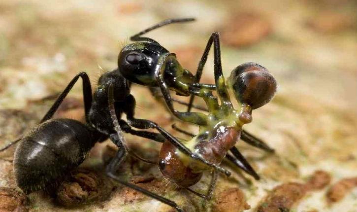 Des fourmis kamikazes… «cela vous rappelle ces terroristes palestiniens auteurs des attentats suicides » ?