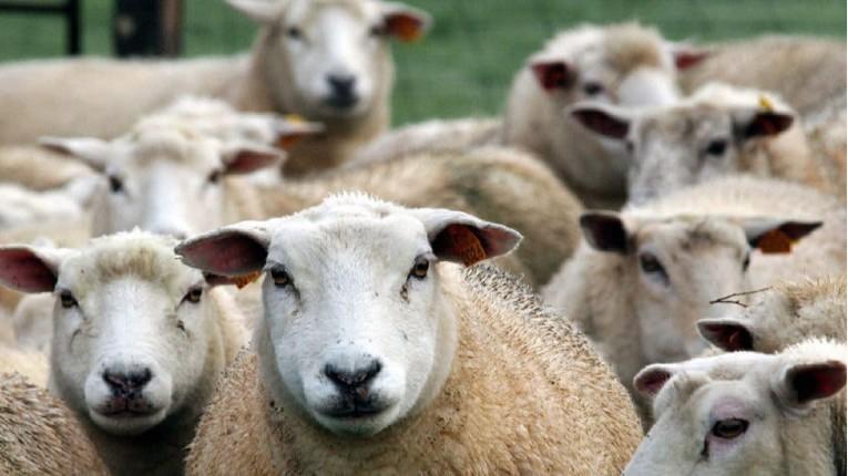 Bruxelles : Malgré l'interdiction, 460 carcasses de moutons retrouvées dans les rues de la capitale pour l'Aid